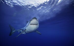 Great white sharks get tracked by drones